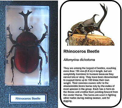 Real Insects Rhino Beetle In Crystal Clear Resin  Information Card On Gift Box • 6.95£