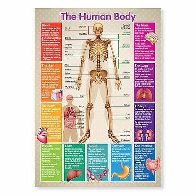 A3 Laminated Educational Poster Human Body Skeleton Teaching Resource • 3.50£
